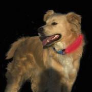 Светящаяся накладка на ошейник Nite Dawg LED Collar Cover