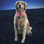 Светящийся ошейник Nite Dawg - LED Dog Collar